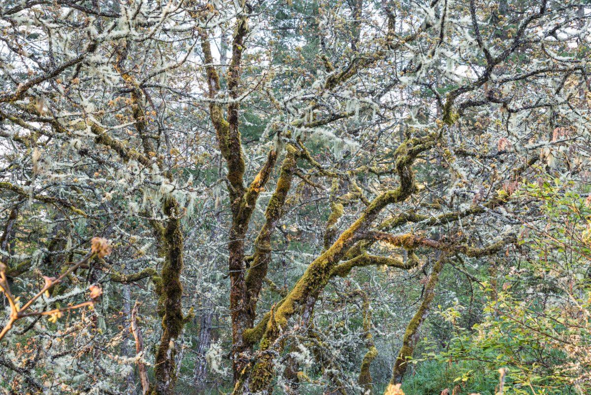 a garry oak tree