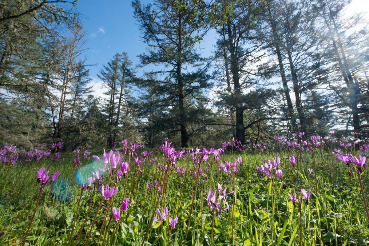 shooting star flowered in front of Douglas fir trees
