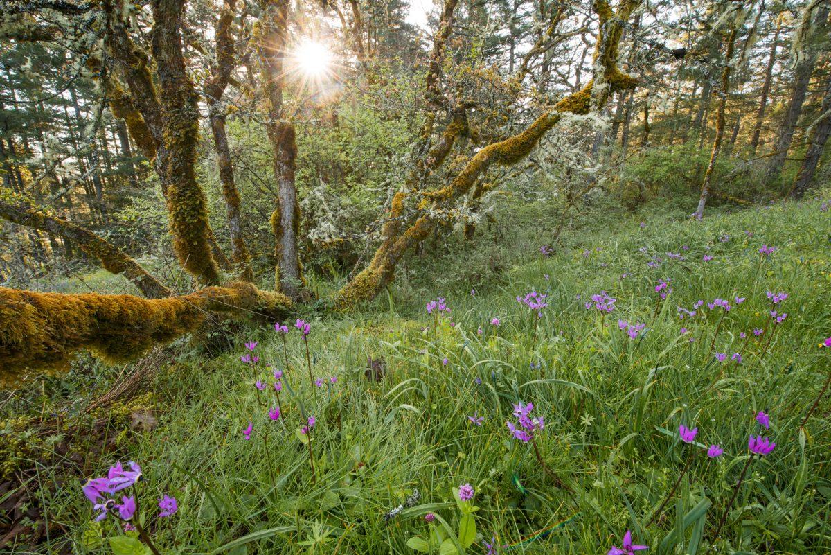 sun shines behind garry oaks at sunrise