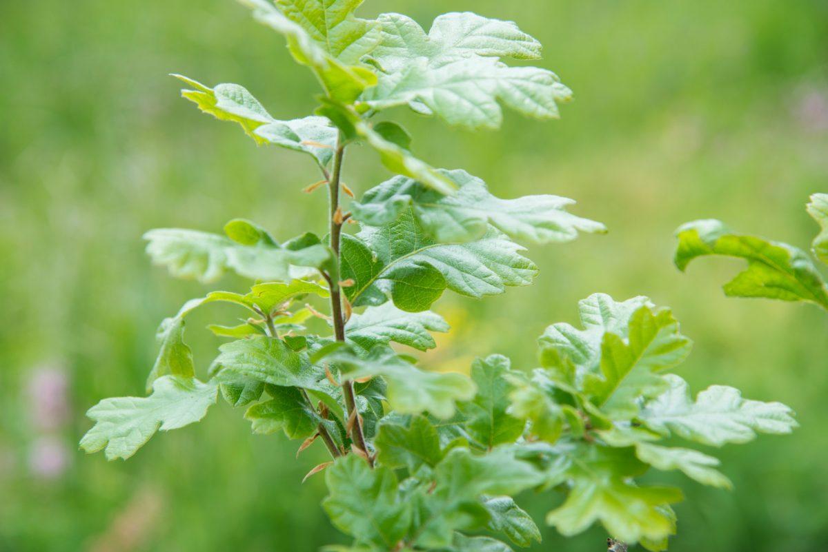 a Garry oak seedling