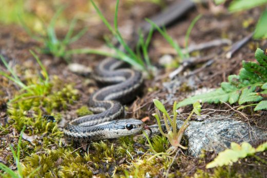 a grater snake