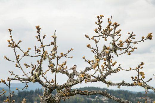 a dark-eyed junko in a Garry oak tree