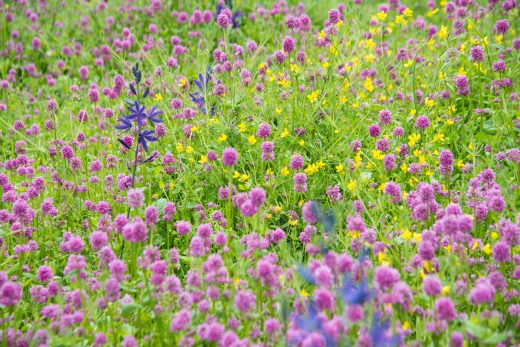 flowers in a Garry oak meadow