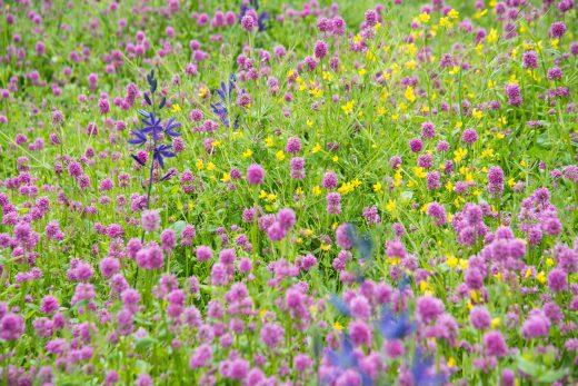 flowers in a Garry oak meadow