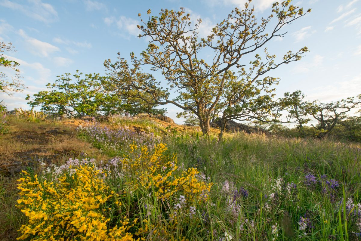 scotch broom and Garry oak trees