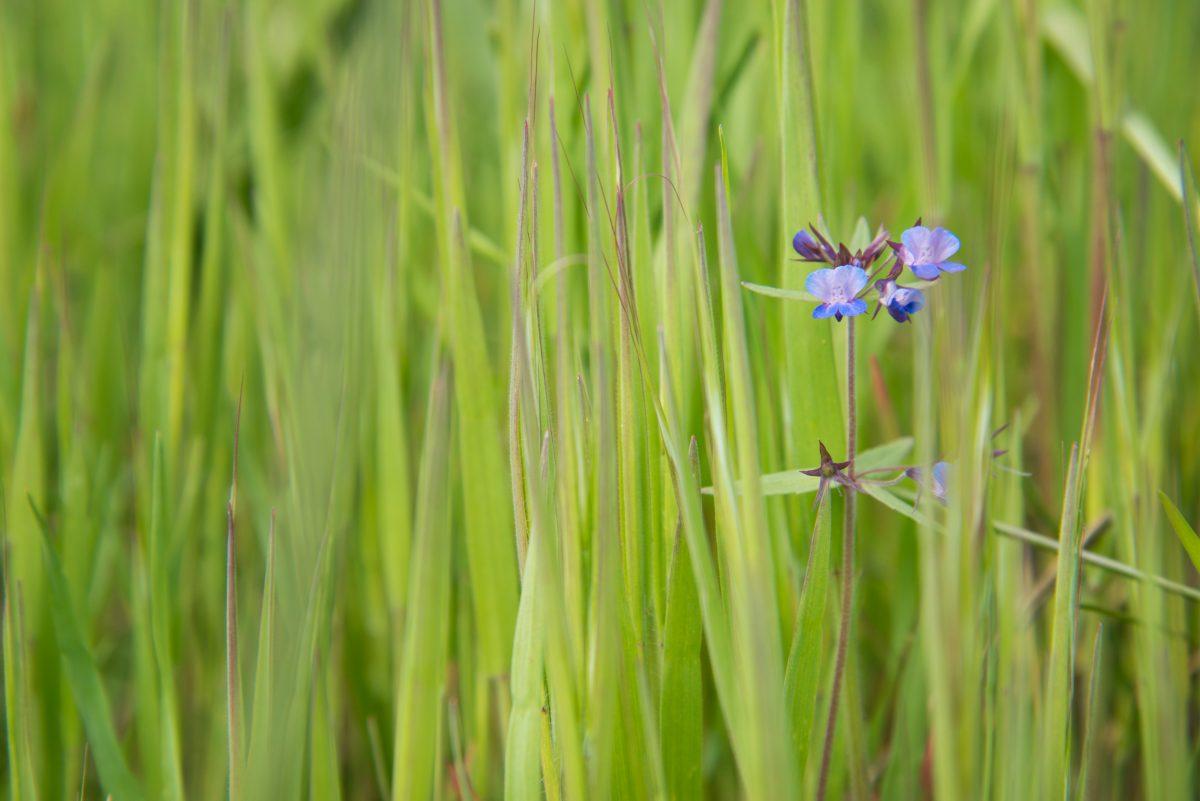 a blue-eyed Mary flower amid common velvet grass