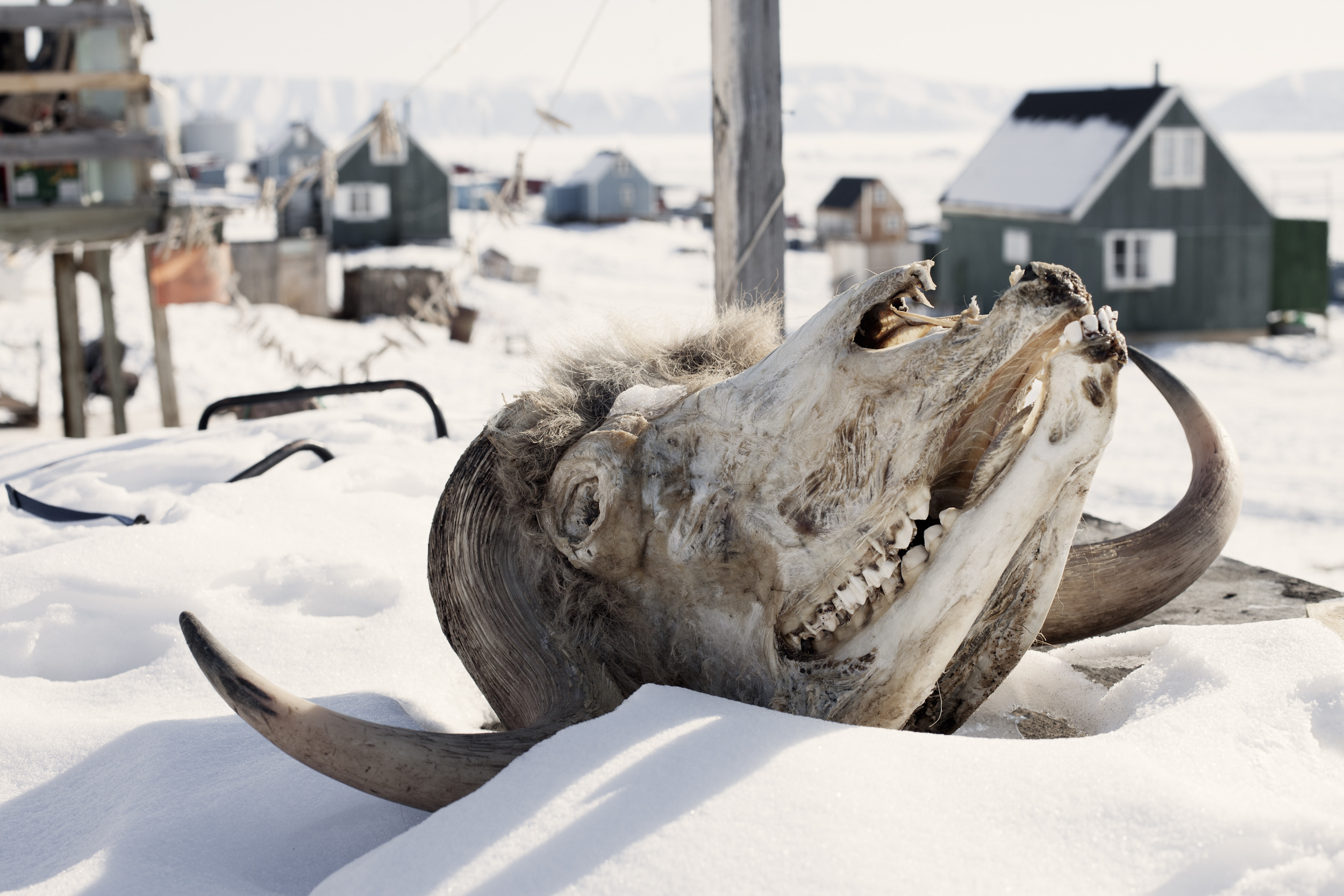 the seal hunters of greenland a photo essay hakai magazine a muskox skull from last season s hunt nestles in the snow outside a small house in qaanaaq