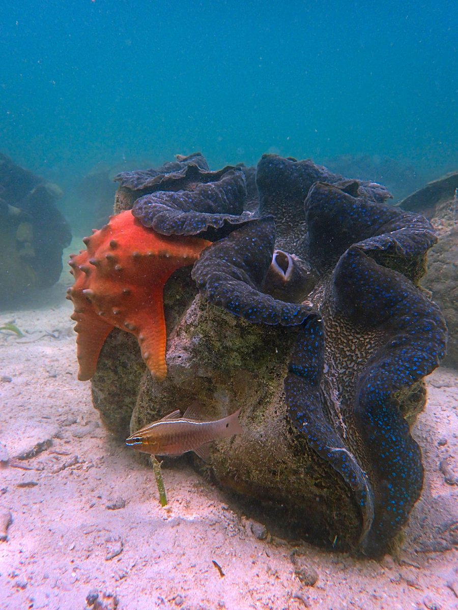 seastar on giant clam