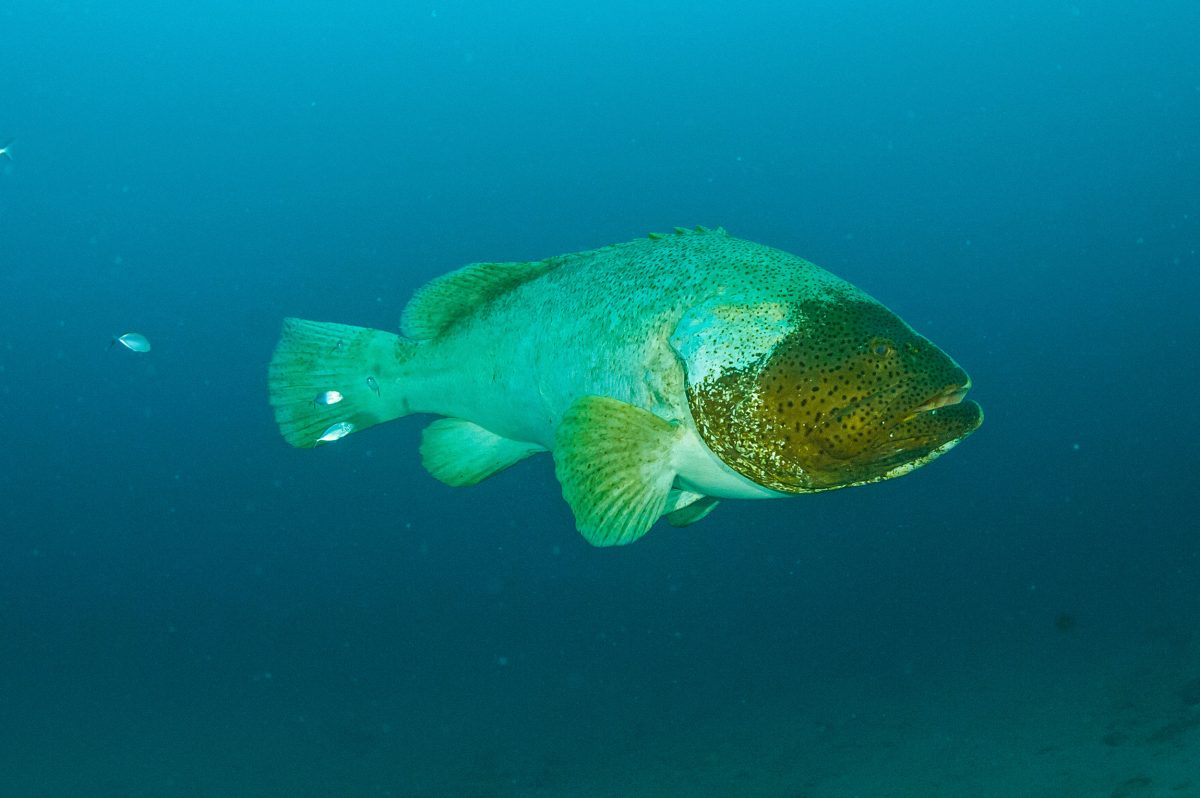 Identified by the dark patch on the right side of its face, the fish known as Braveheart is a fixture on the Mizpah and other artificial reefs near Singer Island in the late summer.