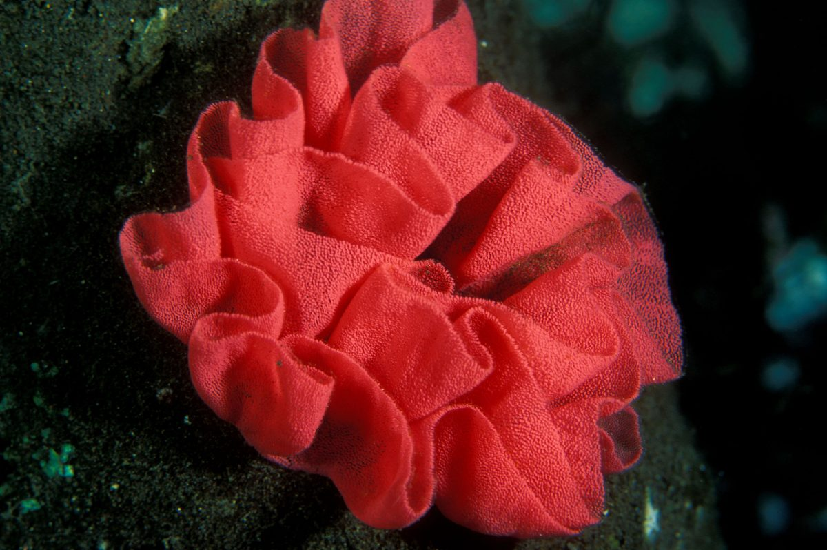 Ribbon shape nudibranch egg cluster on a coral reef, Solomon Islands