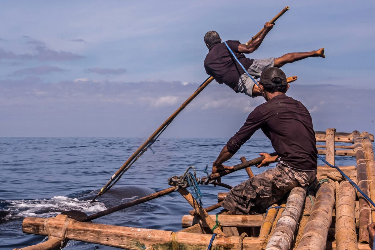 Indonesian whale hunter spears a sperm whale