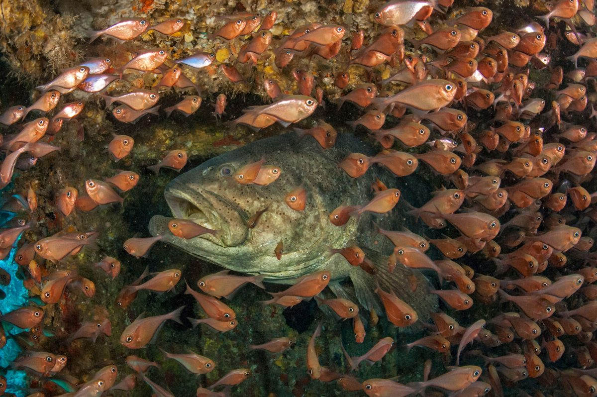 A pair of Goliath grouper takes shelter underneath the Upside Down Barge off Singer Island while photographer Lazaro Ruda looks on.
