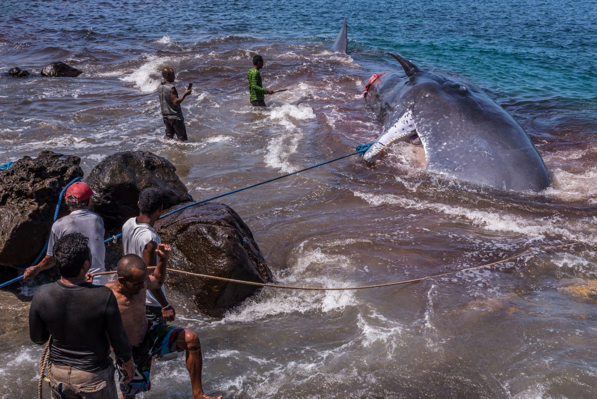 villagers pull a dead sperm whale to shore