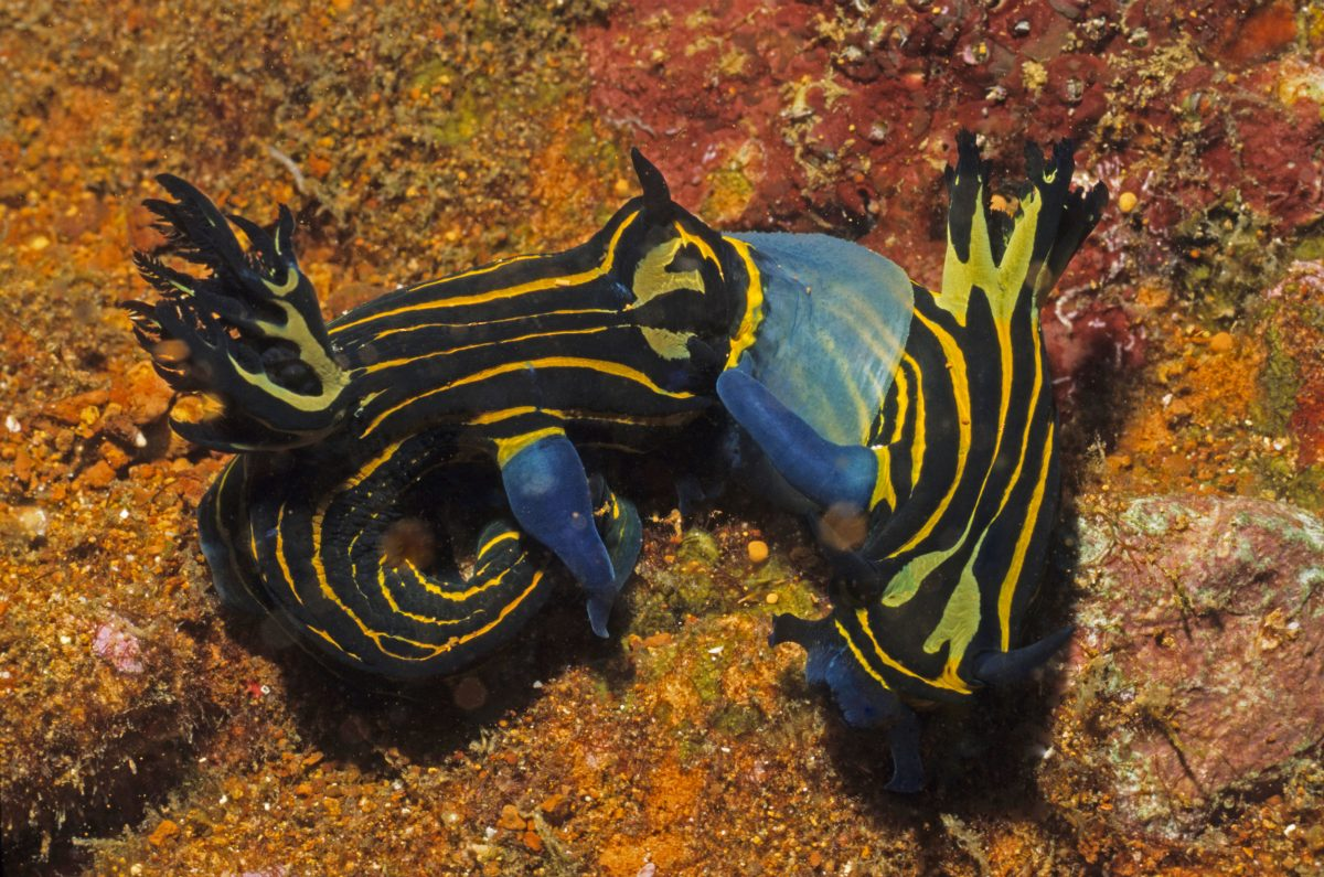 Dusky nembrotha eating another nudibranch, Philippines