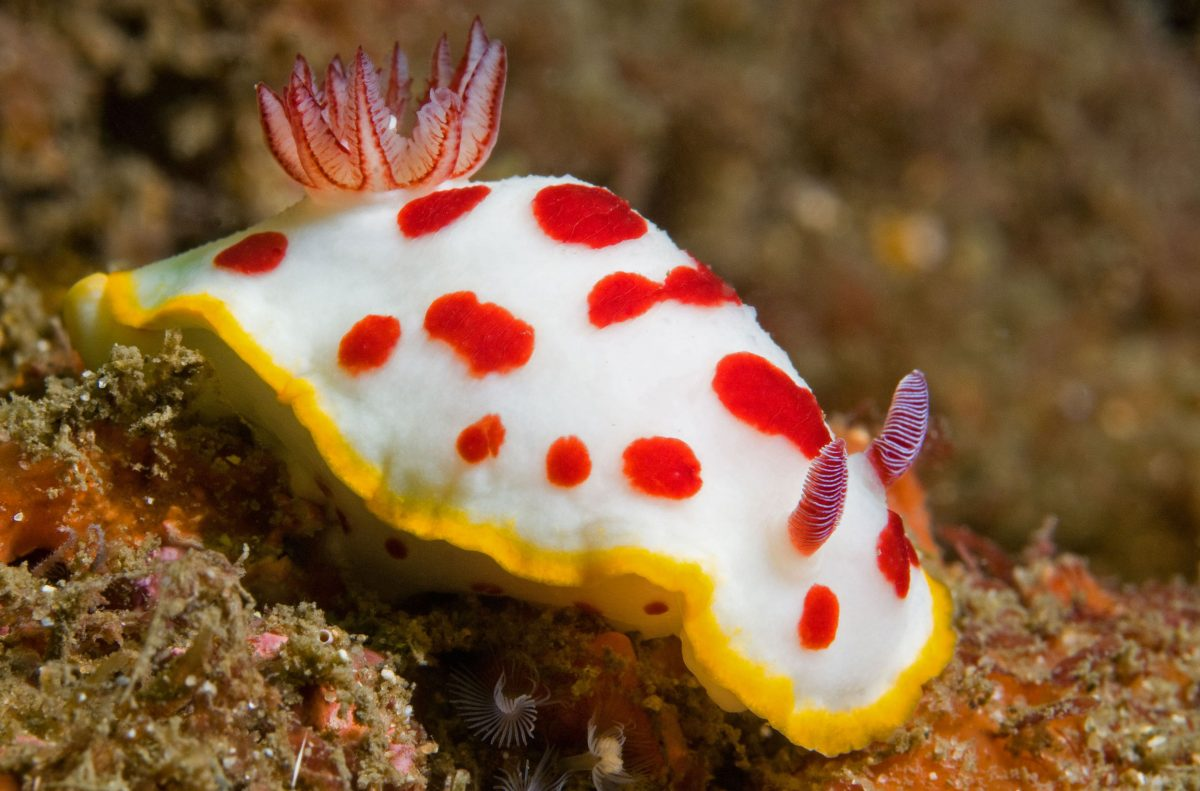 nudibranch, Chromodoris splendida, off Bare Island, Botany Bay, Australia