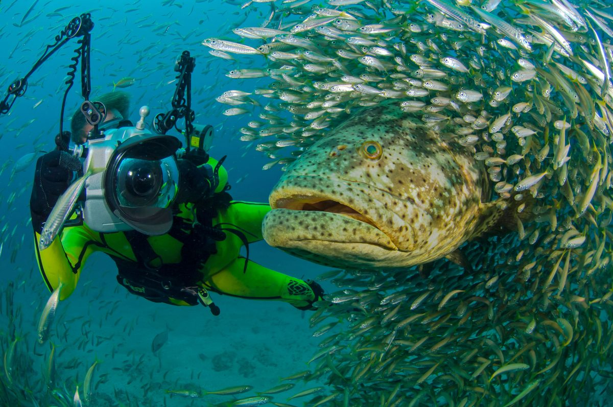 Photographer Douglas Seifert swims alongside a goliath grouper and a cloud of round scad near the Zion Train artificial reef off Jupiter, Florida.
