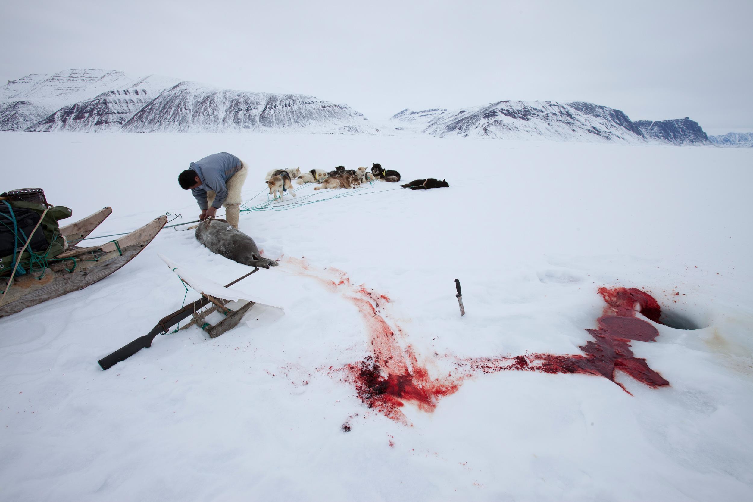 Seal hunt essay