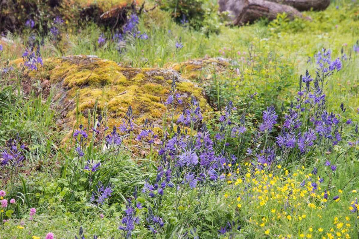 camas flowers in Garry oak habitat at Fort Rodd Hill National Historic Site