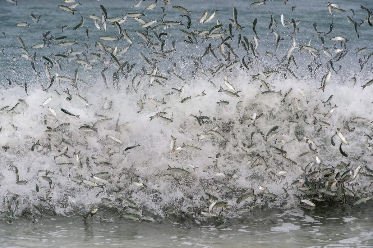 Striped mullet exploding out of the water on the Florida coast