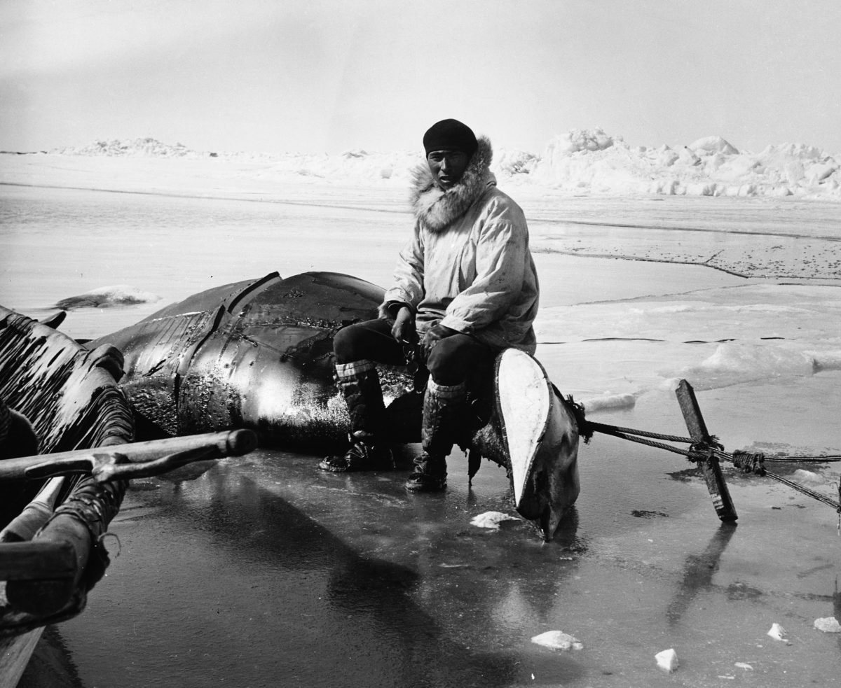 An Inuit hunter sits on a whale that's been hauled to shore for butchering in Point Hope, Alaska, in 1900. Photo by Hulton Deutsch/Getty Images