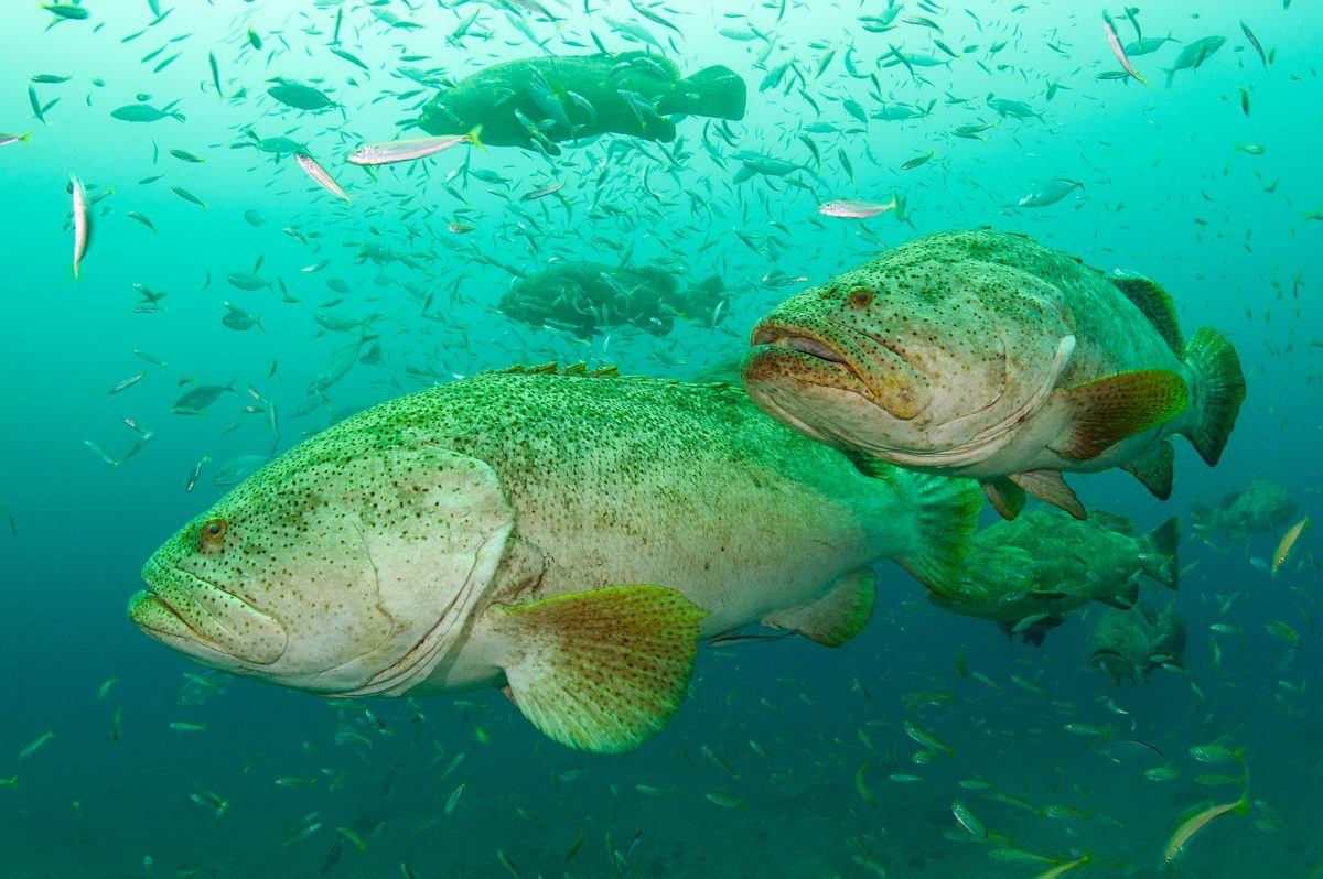 Goliath grouper hover in the current high above the Mizpah