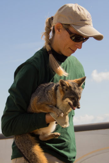 Like many island creatures, the island fox is smaller than its mainland counterpart. Photo by Jason G. Goldman