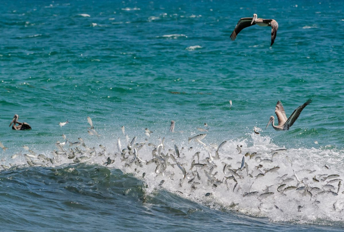 Brown pelicans chase after a school of mullet while predatory fish, most likely jack and tarpon, attack the baitfish from below, making them launch into the air.