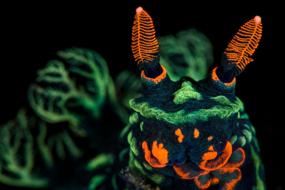 High magnification photo of Nudibranch (Nembrotha kubaryana)