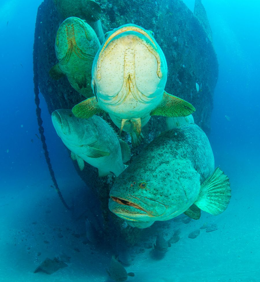 Goliath grouper hover near the bow of the Ana Cecilia during their annual spawning aggregation.