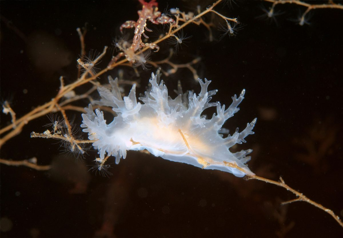 Nudibranch or Sea Slug (Dendronotus frondosus) Sea of Japan
