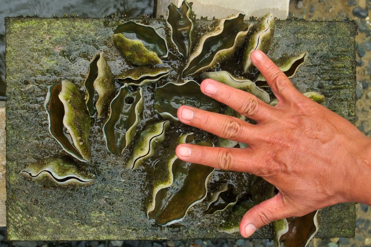 hand showing size of tear-old giant clams