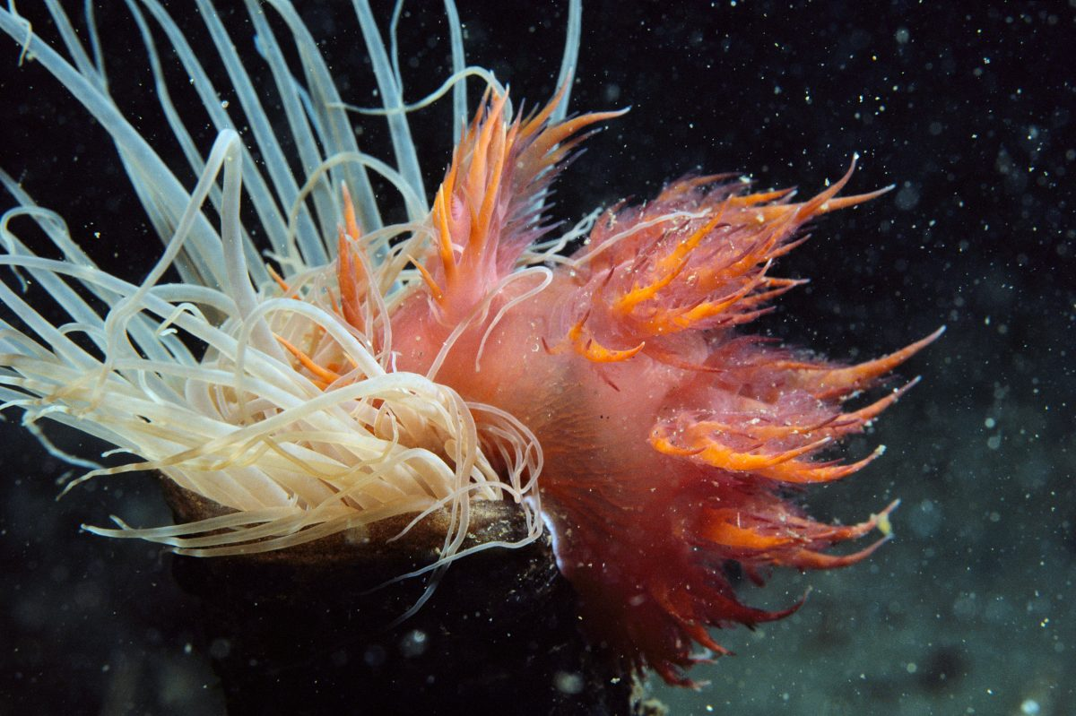 giant nudibranch (Dendrochronus iris) and anemone