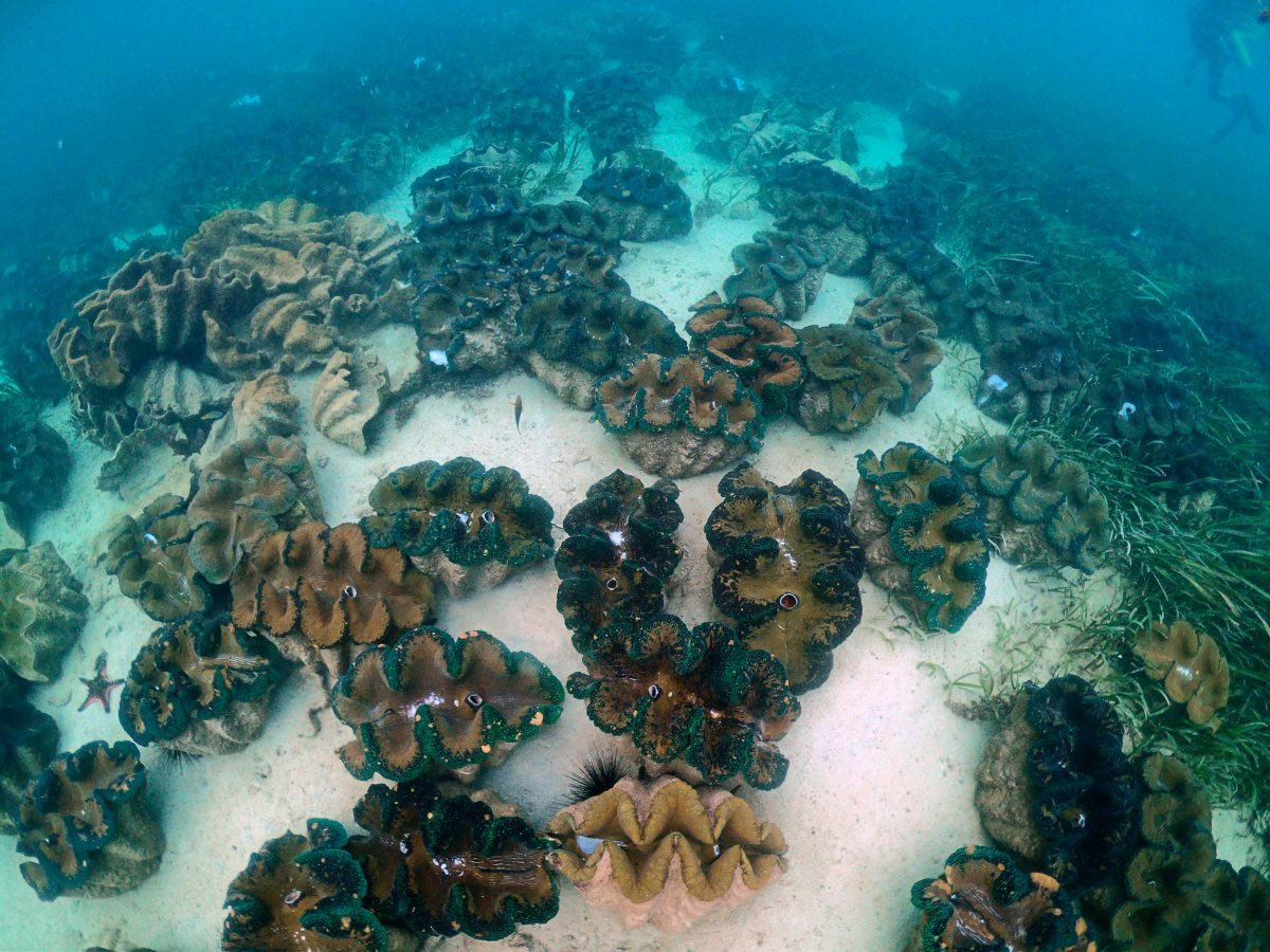 giant clams on sea floor