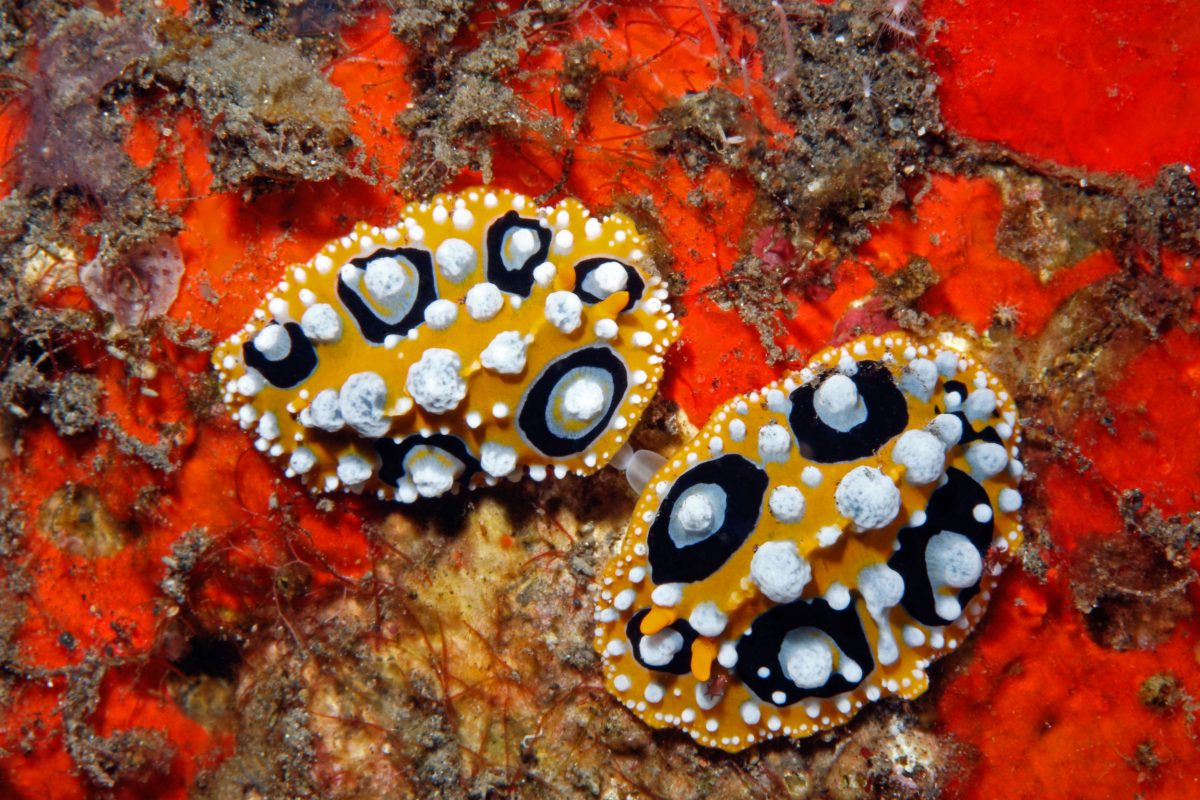 Mating nudibranchs, Phyllidia ocellata