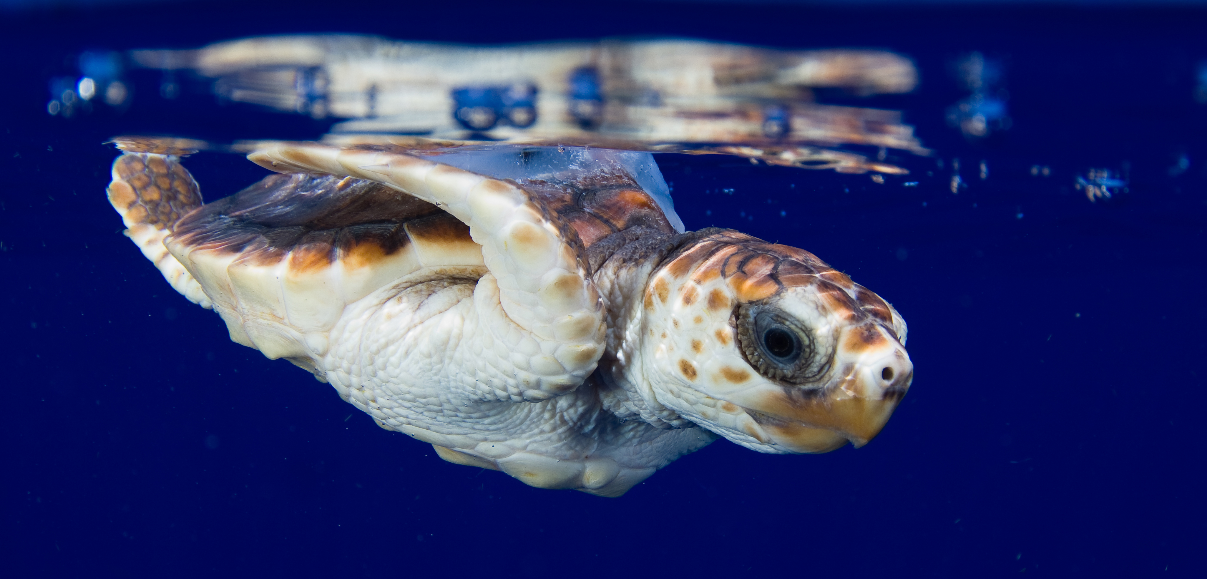 A baby sea turtle swims in the Gulf of Mexico. Photo by the University of Central Florida