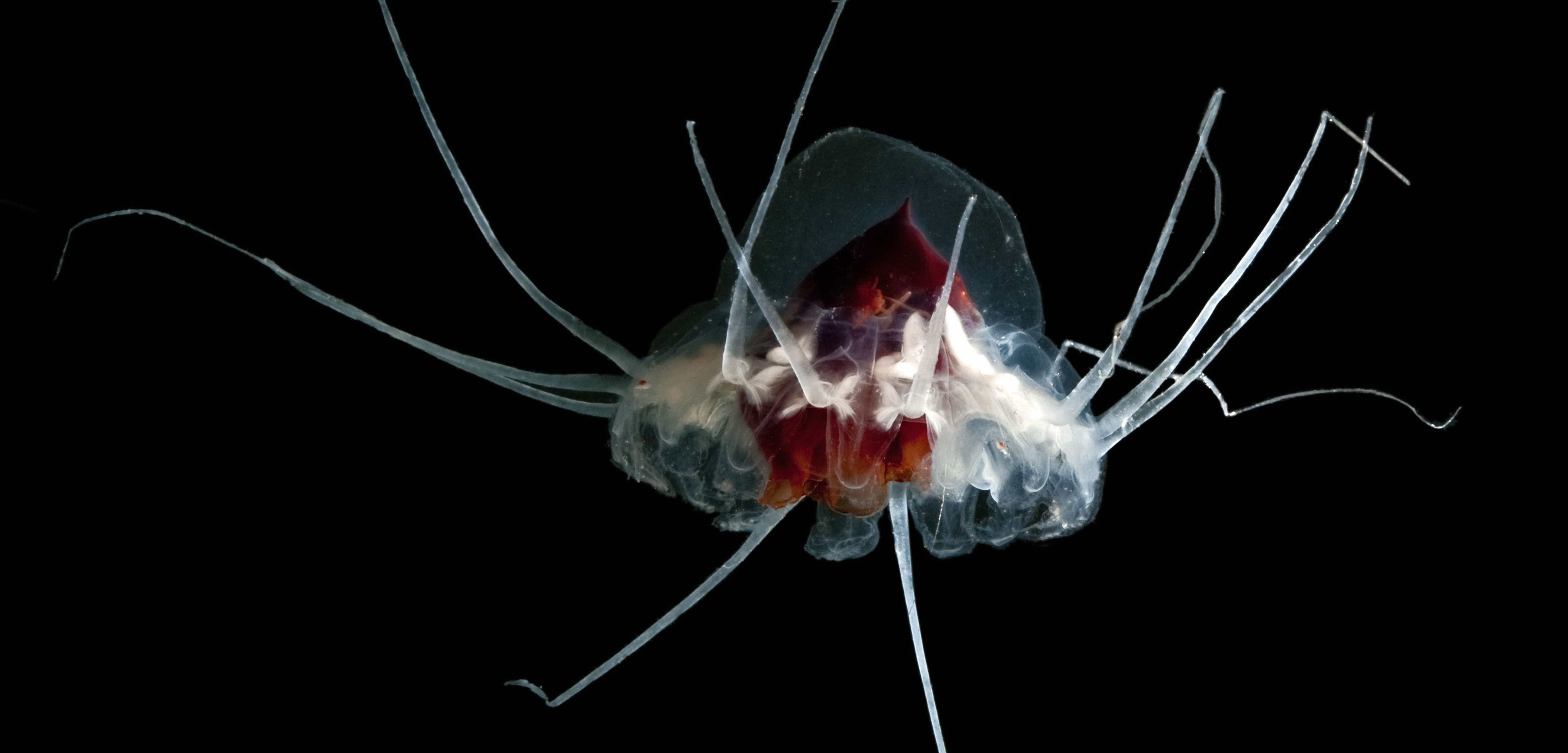 The helmet jellyfish is a deep sea species, and spends most of its time hundreds or even thousands of meters below the surface. Photo by Sonke Johnsen/Visuals Unlimited/Corbis