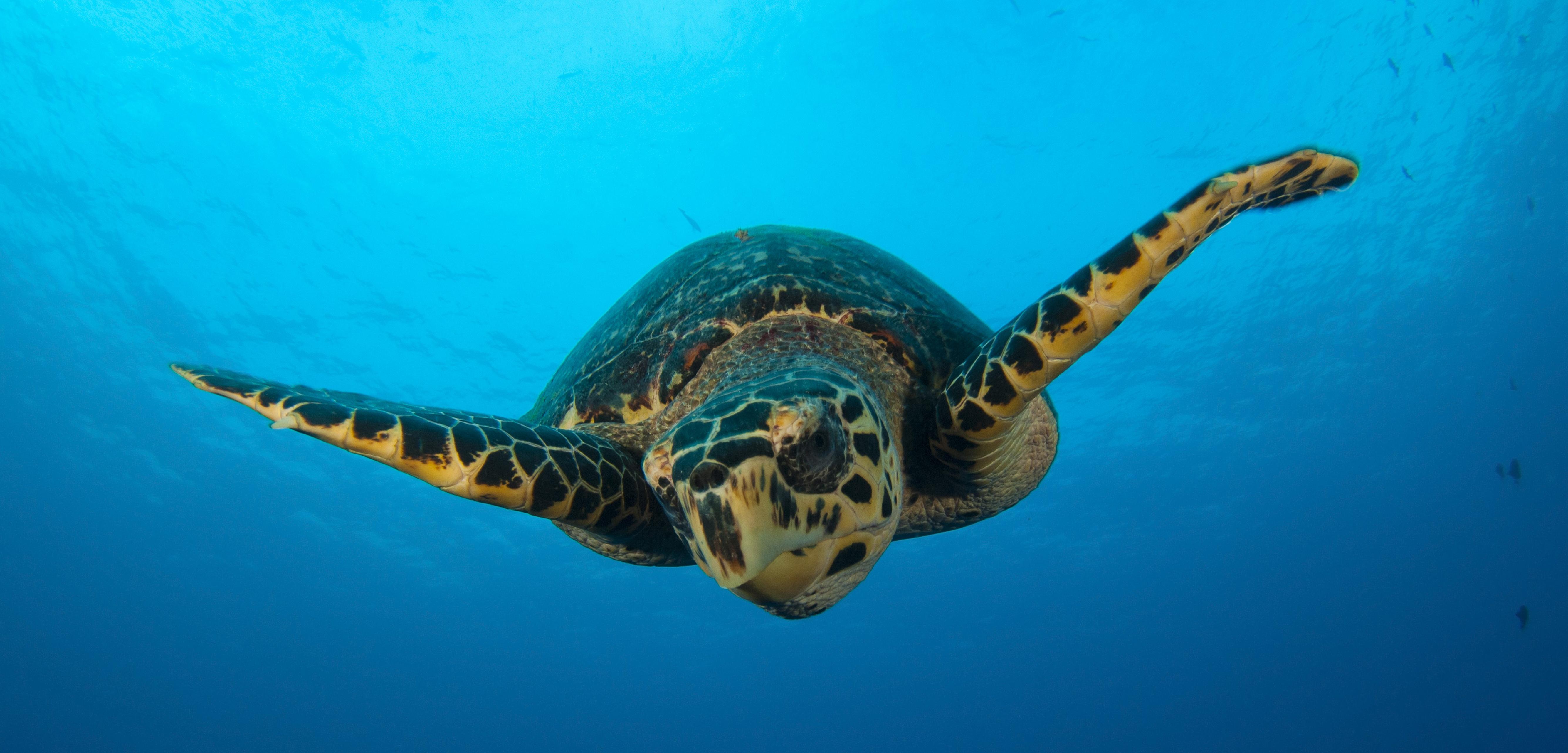 There are new laws in place to protect Turks and Caicos' hawksbill sea turtles. Now the question is whether they'll make a difference. Photo by Steve Jones/Stocktrek Images/Corbis
