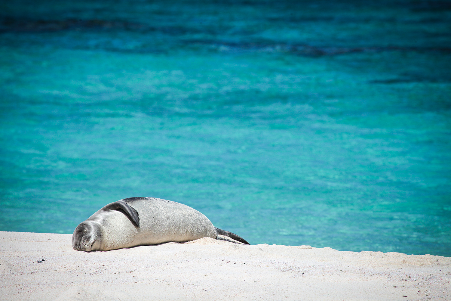 Hawaii's Highly Endangered Monk Seals Are (Finally) Having a Good Year | Hakai Magazine