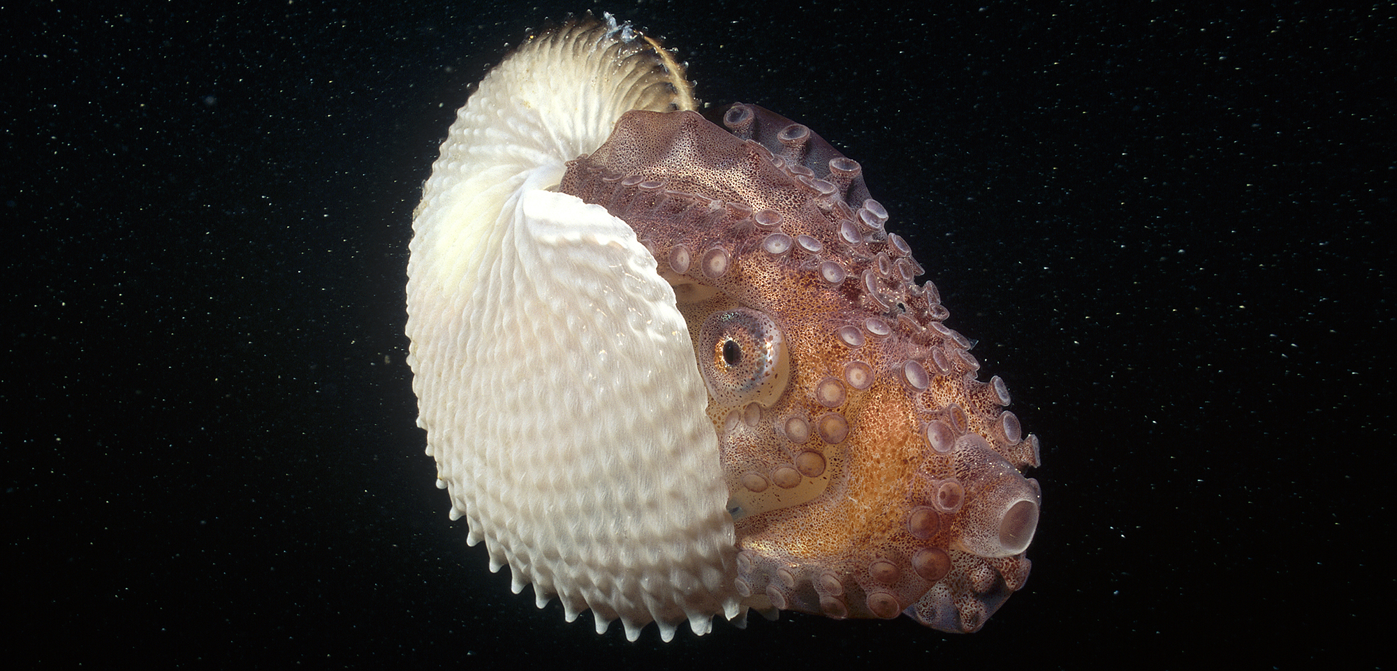 Some female paper nautiluses, shell included, can be more than half a meter long. Photo by Fred Bavendam/Minden Pictures/Corbis