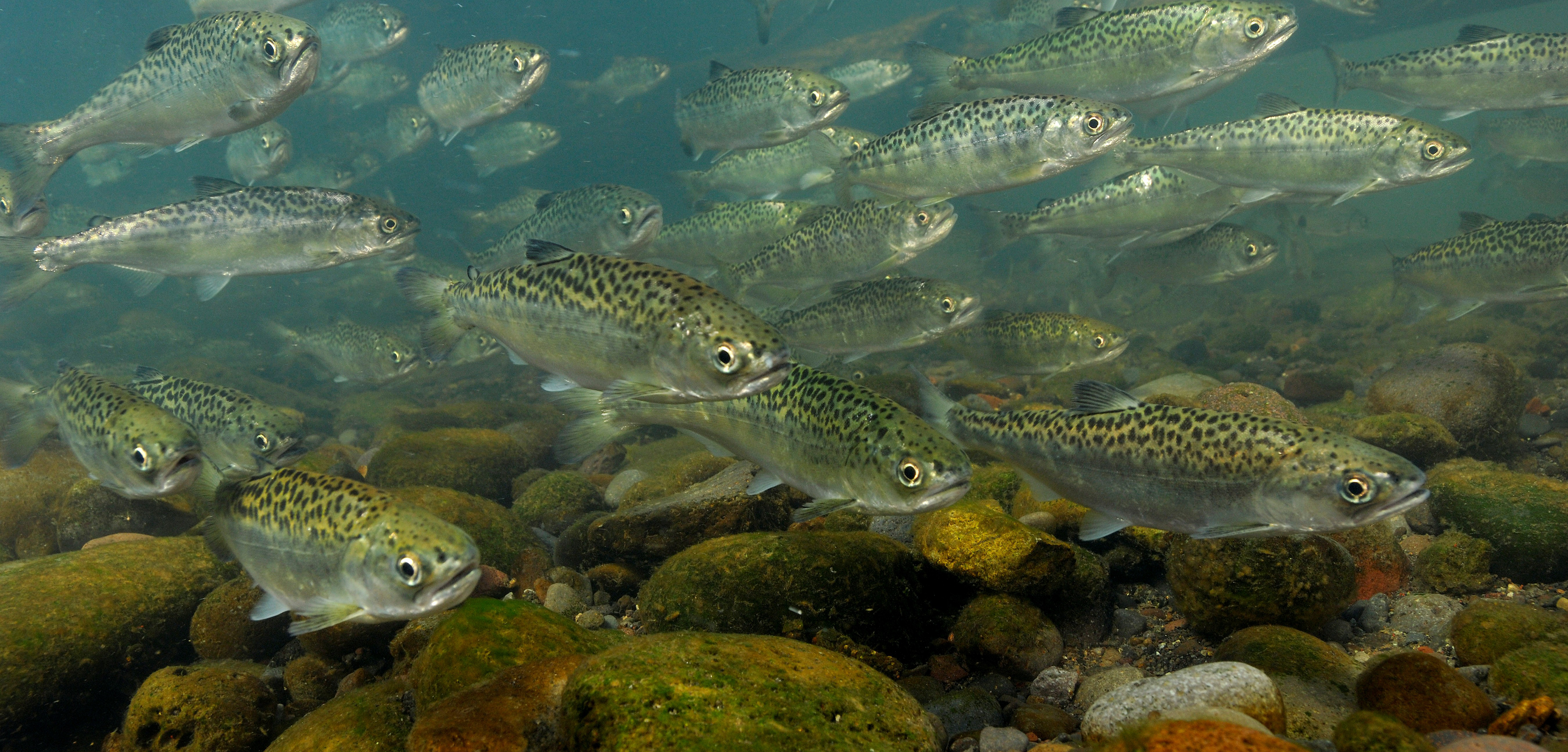 Young chinook salmon, with their highly active lifestyles, seem to be more exposed to contaminants than less active sculpin. Photo by Mark Conlin/SuperStock/Corbis