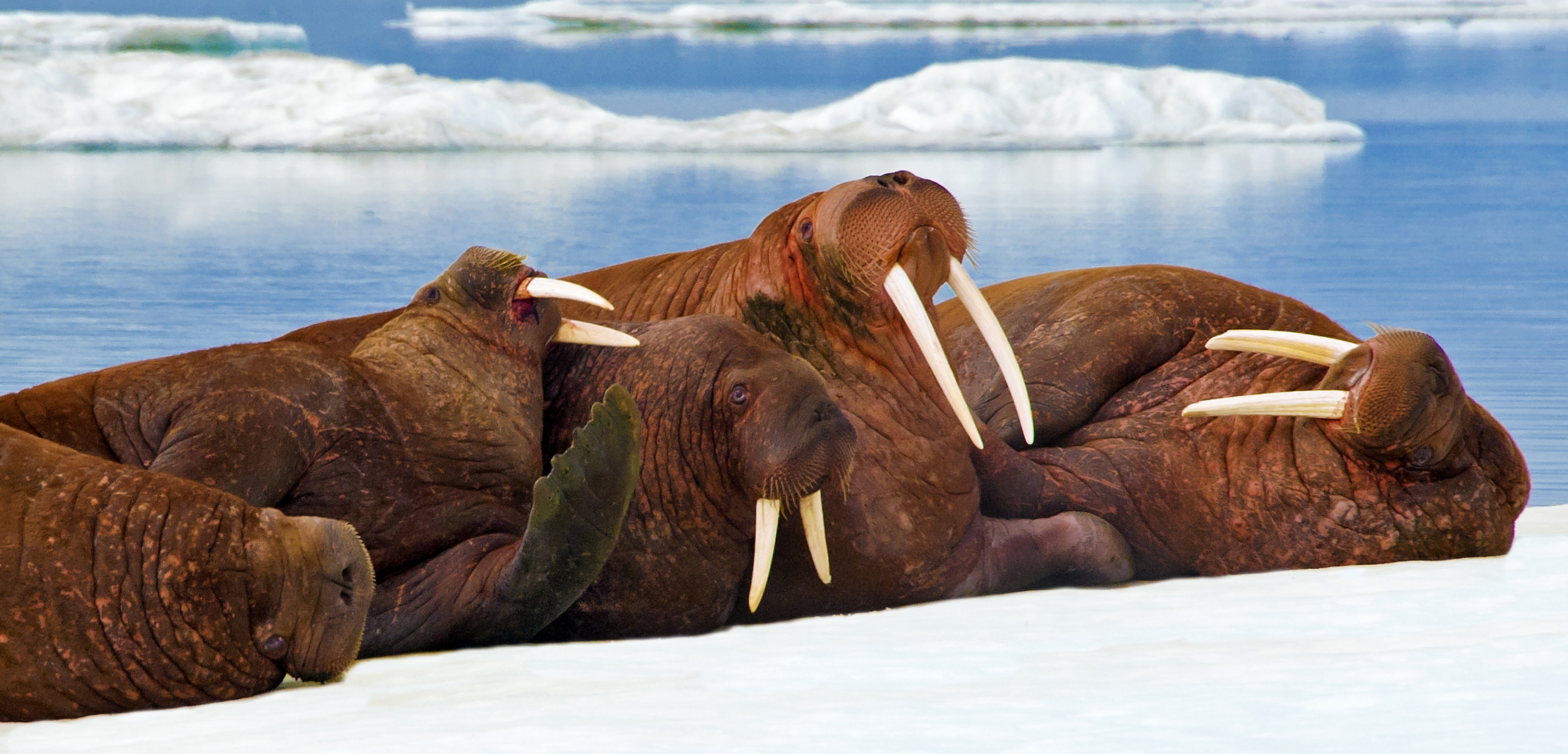 indigenous cooperation a model for walrus conservation hakai magazine