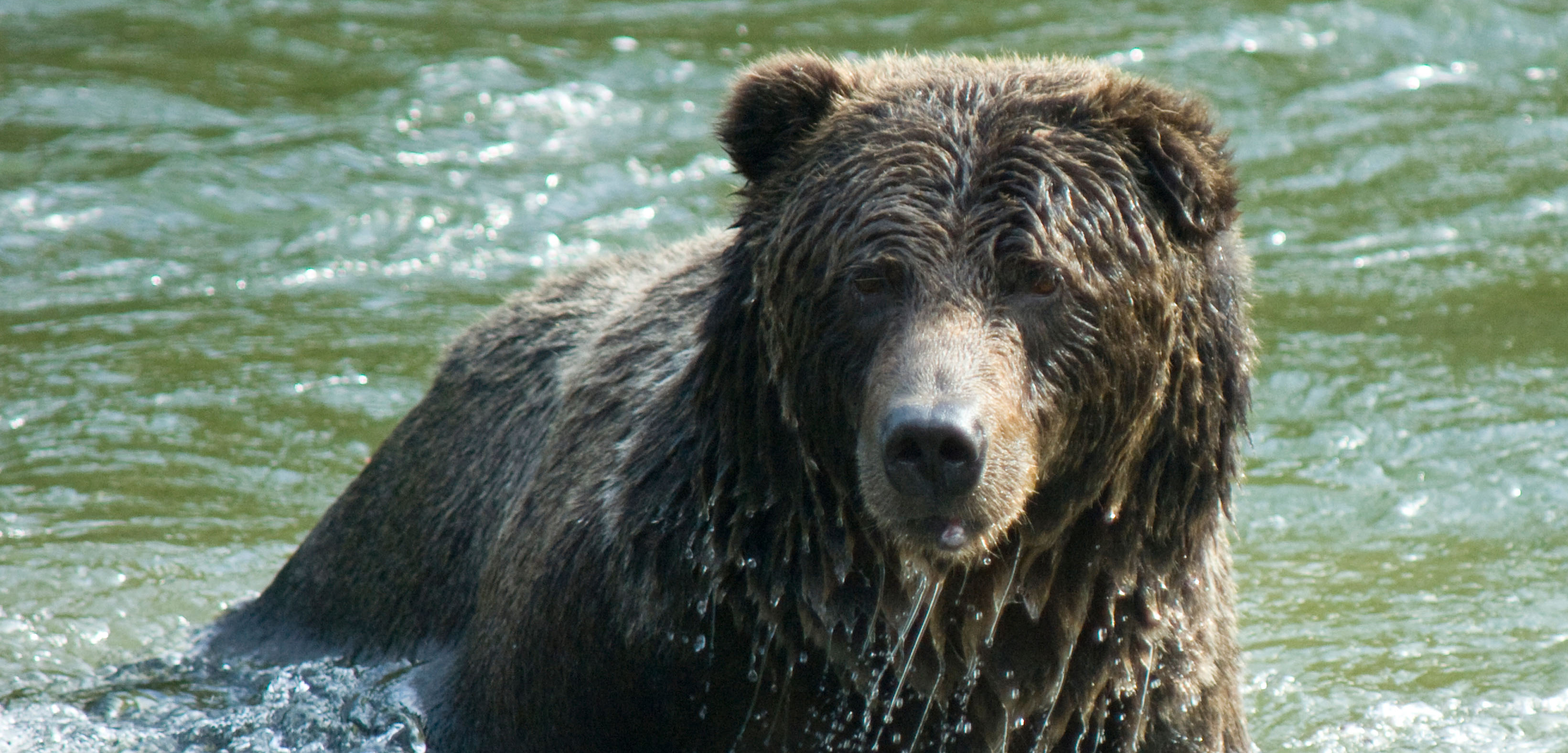 Human Grizzly Conflict Is Fueled By Desperation Hakai Magazine Disassembly Stock Photos Images Alamy A Bear In River Near Bella Coola British Columbia Photo Neil Calbrade