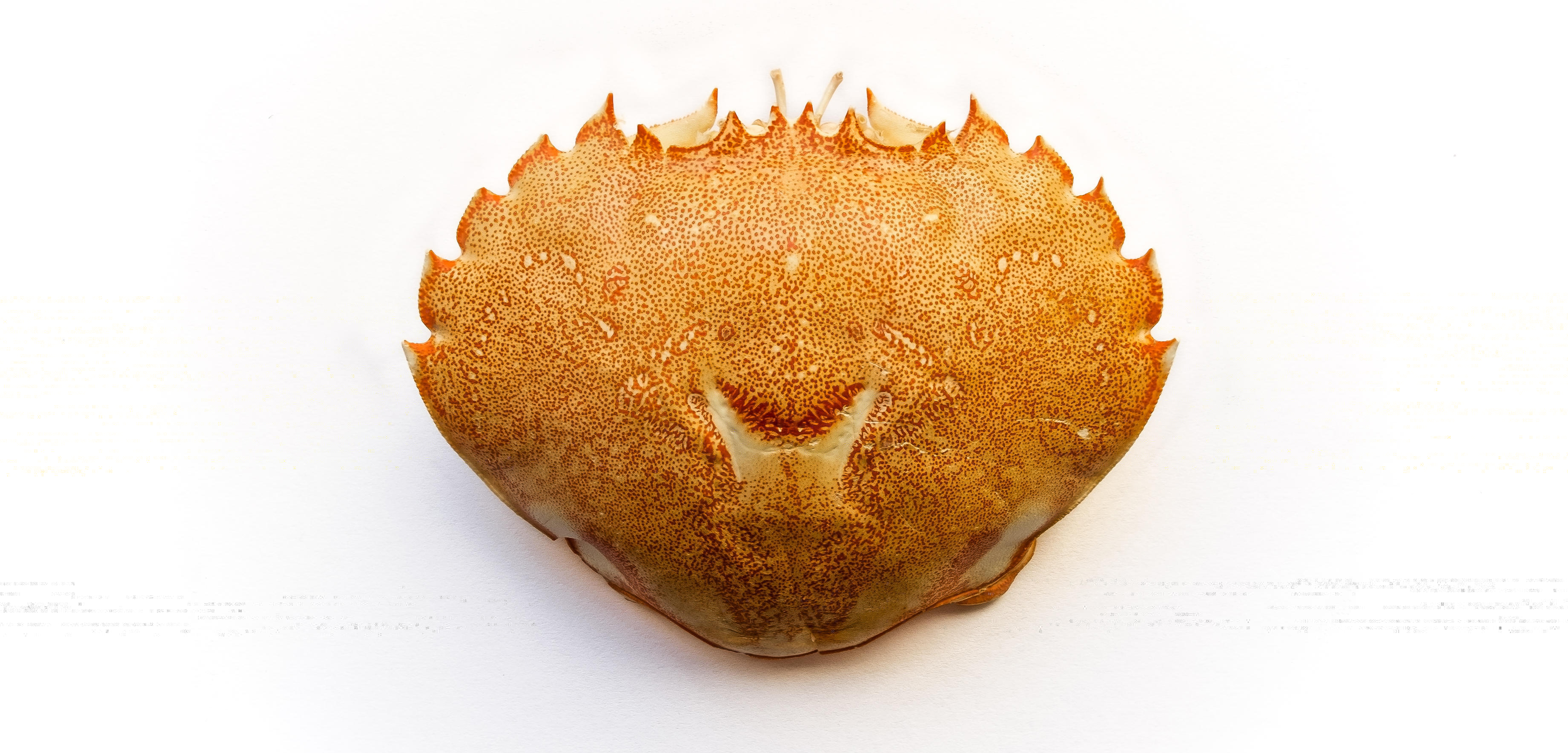 Chitin from crab and lobster shells can be chemically transformed into all sorts of useful materials. Photo by EyeEm Mobile GmbH/Alamy Stock Photo