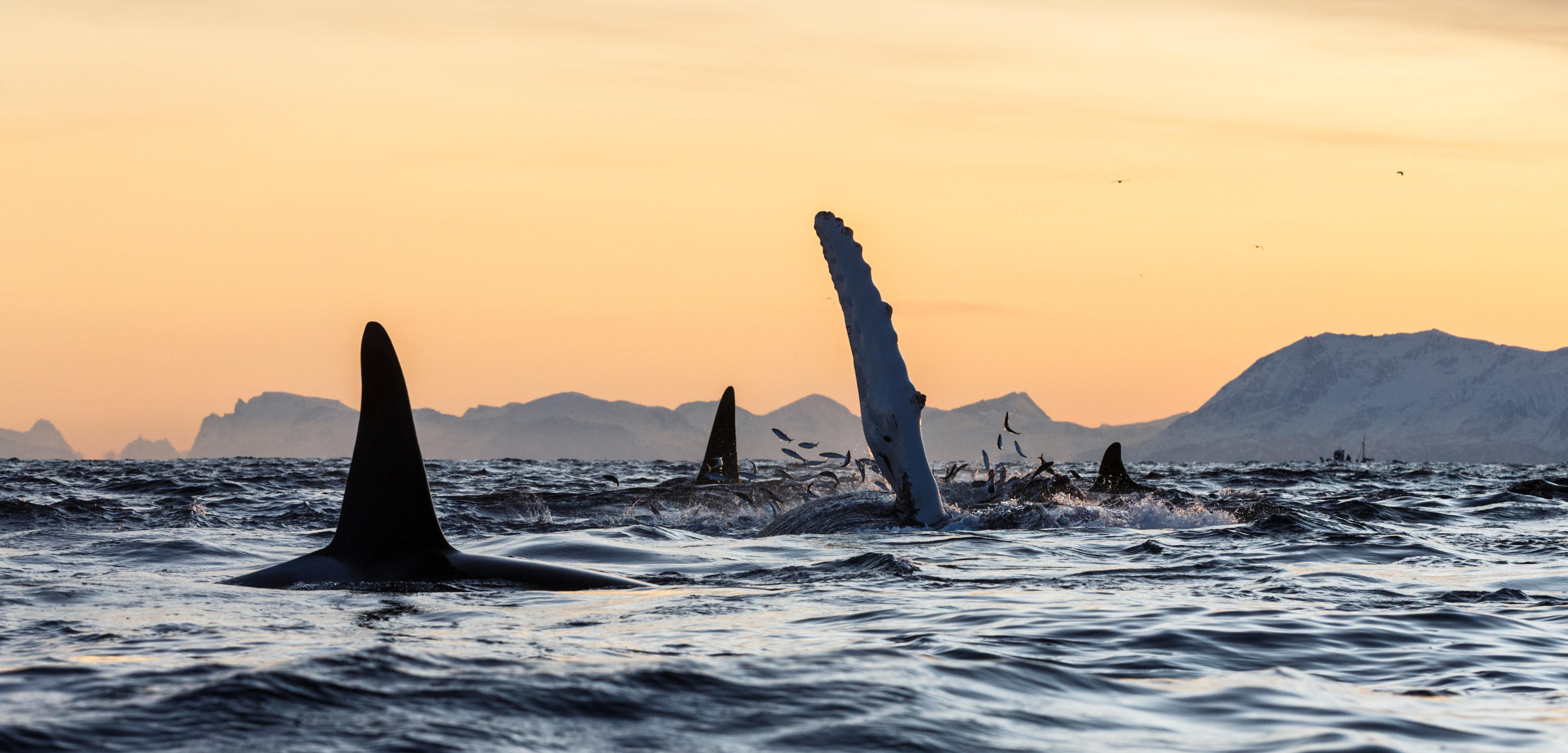for some reason humpback whales have taken it upon themselves to interfere with killer whales hunting attempts photo by nature picture libraryalamy - Images Of Whales