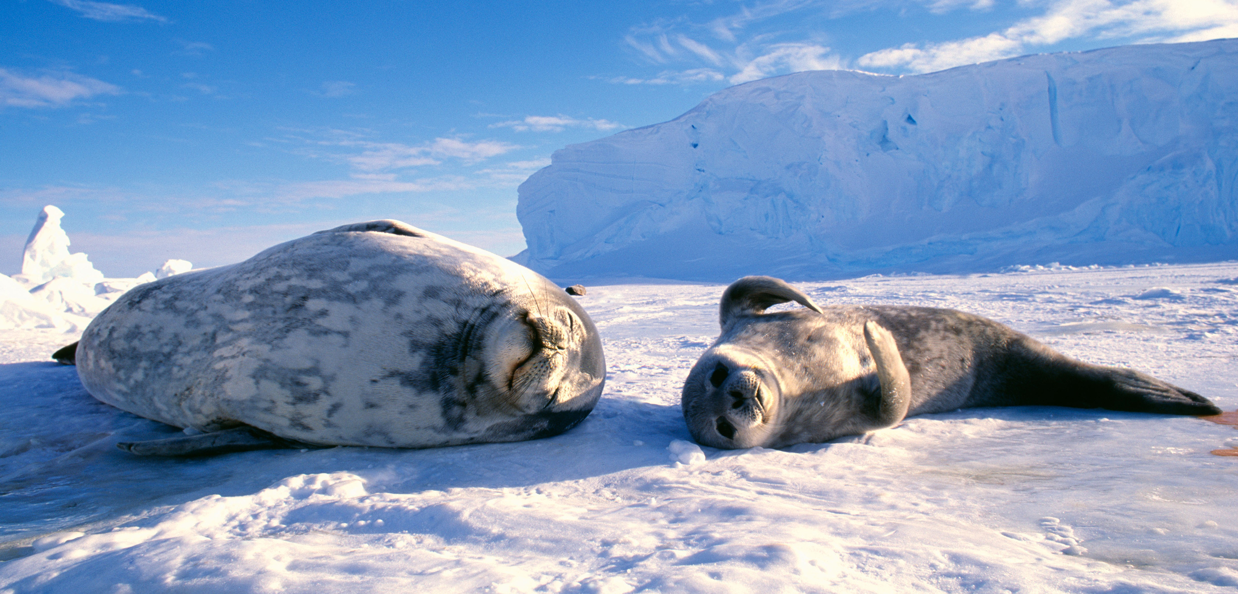 A pair of Weddell seals relax on the sea ice overlaying the Weddell Sea in Antarctica. Photo by David Tipling Photo Library/Alamy Stock Photo