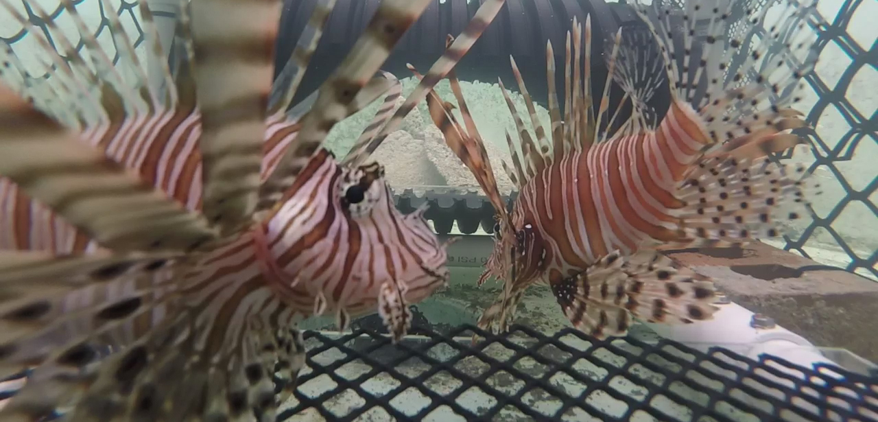 Two lionfish are successfully caught by the Frapper Trap during a trial at the team's testing facility. Photo by Team Frapper