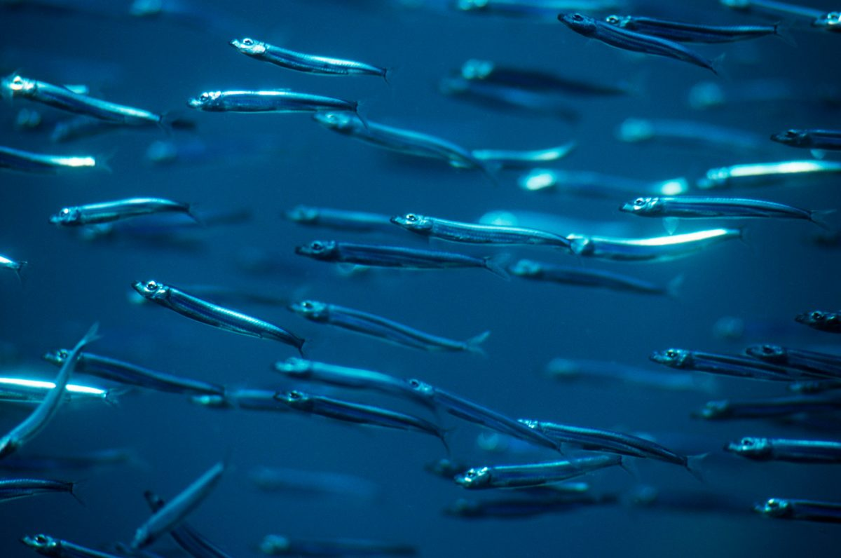 anchovies swimming underwater