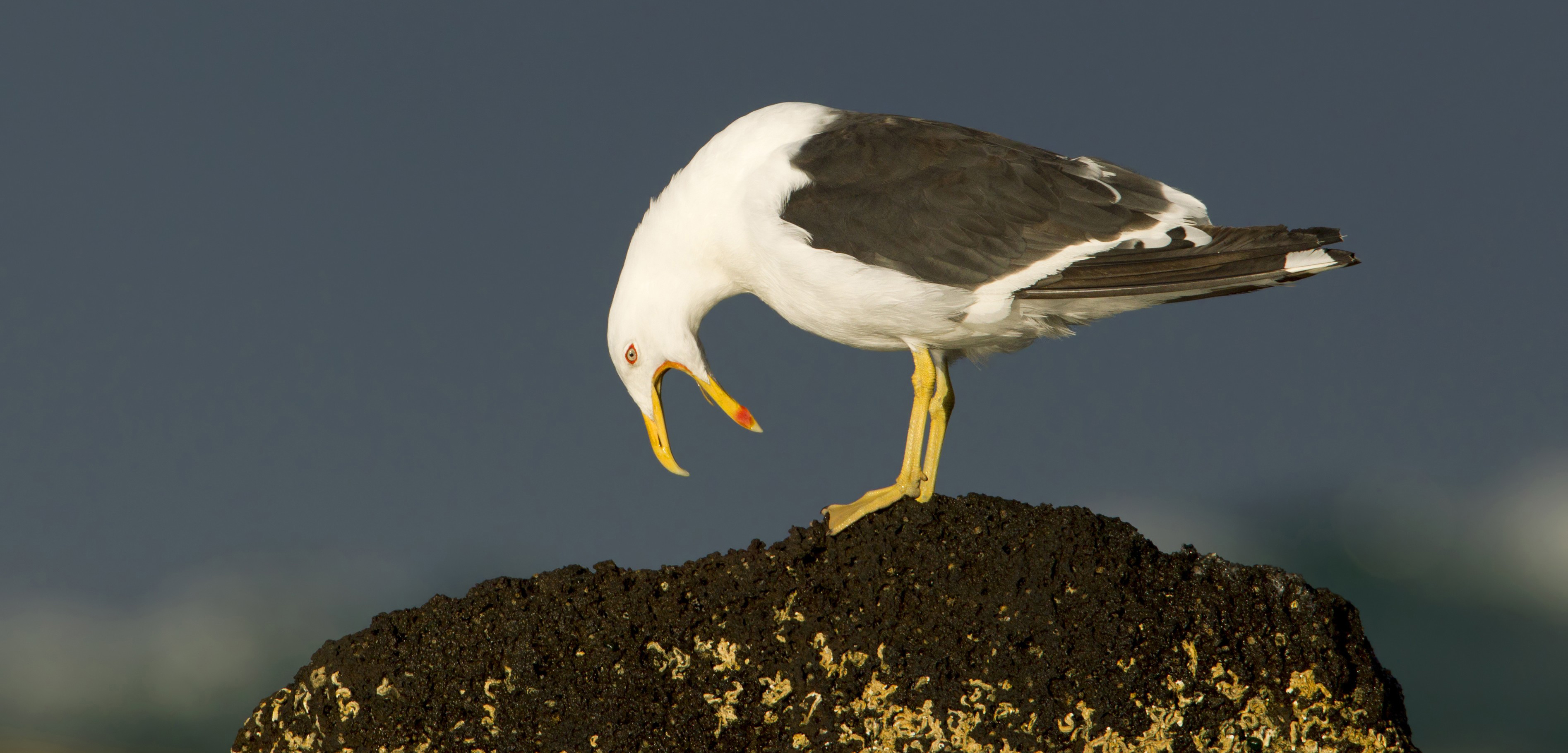 A kelp gull calling for blood, probably. Photo by Rob Drummond/BIA/Minden Pictures/Corbis
