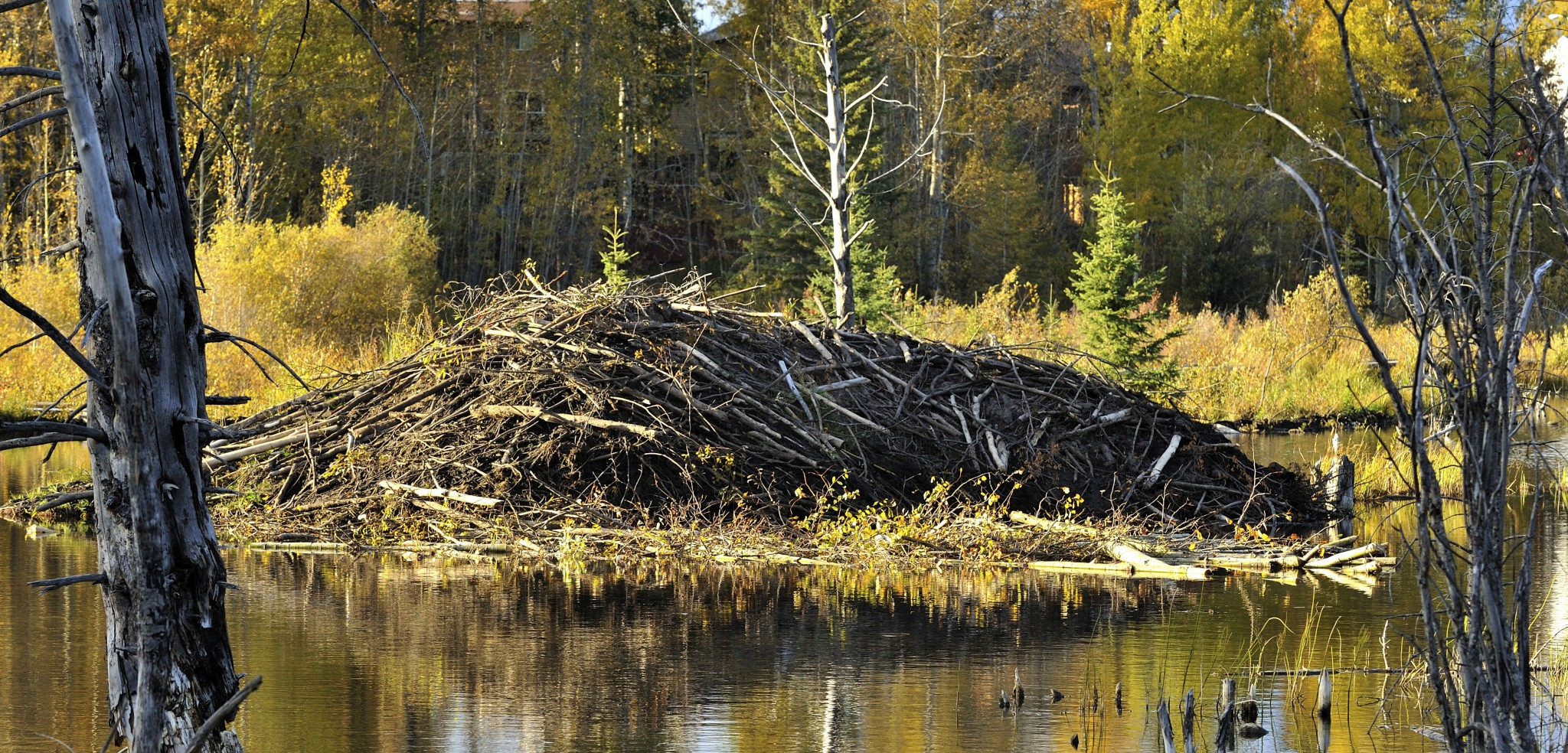 Beavers are ecosystem engineers; and apparently pretty good structural engineers, too. Photo by Robert McGouey/All Canada Photos/Corbis