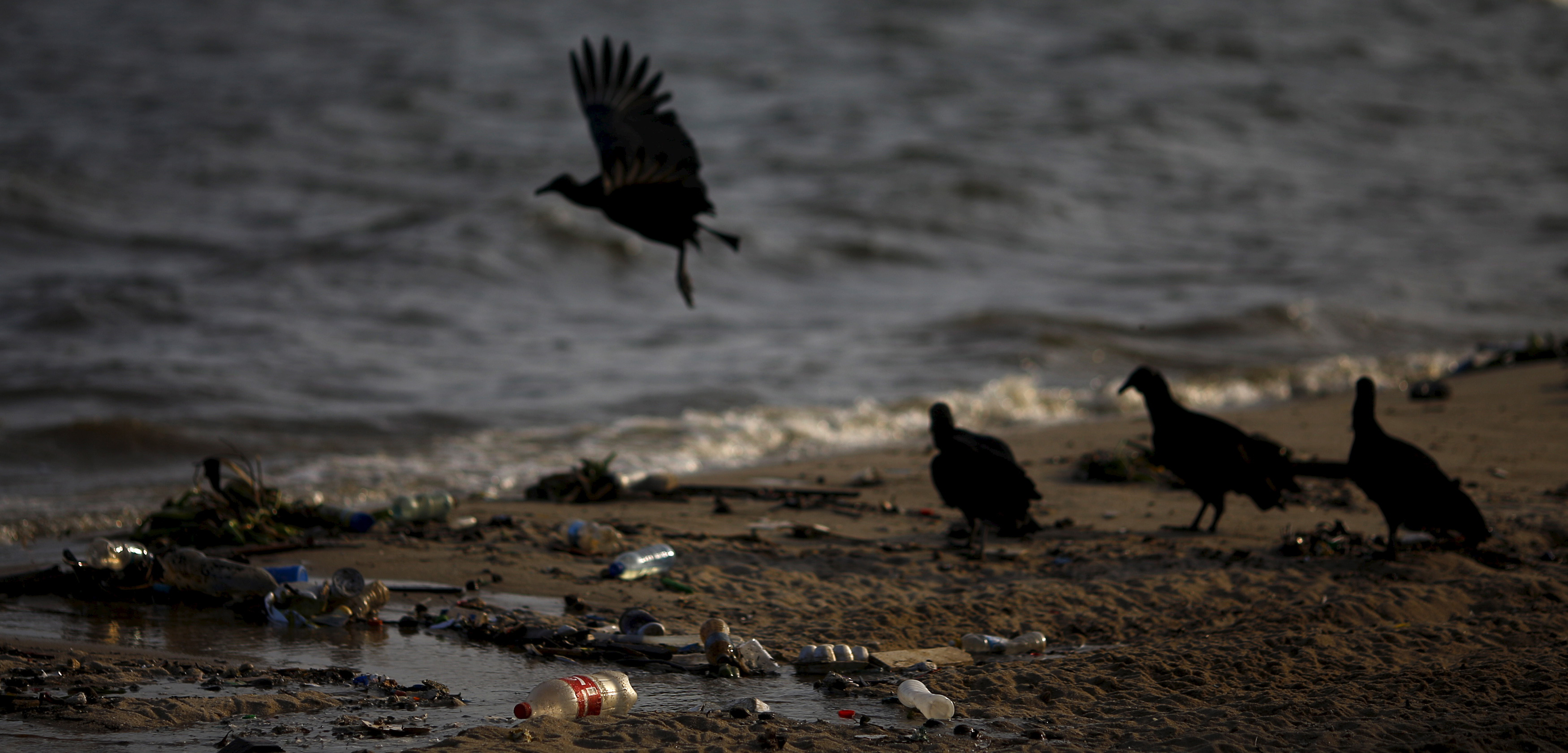Vultures gather in Brazil's Guanabara Bay, the site of a number of aquatic sports in the upcoming 2016 Rio Olympics. Photo by Ricardo Moraes/Reuters/Corbis